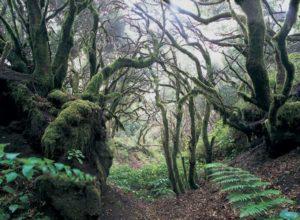 Auf El Hierro findet man faszinierende Lorbeerwälder