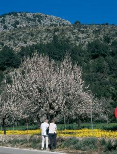 Auf Mallorca gibt es mehrere Millionen Mandelbäume