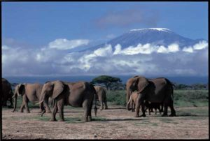 Elefanten vor der Kulisse des Kilimanjaro im Amboseli National Park