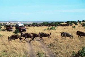 Auf Safaritouren begegnen einem in Kenia ganze Gnuherden