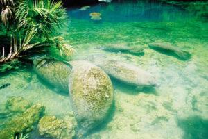 Manatees kommen vor allem in Florida vor