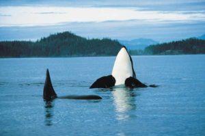 Orca spielt vor der Küste Kanadas