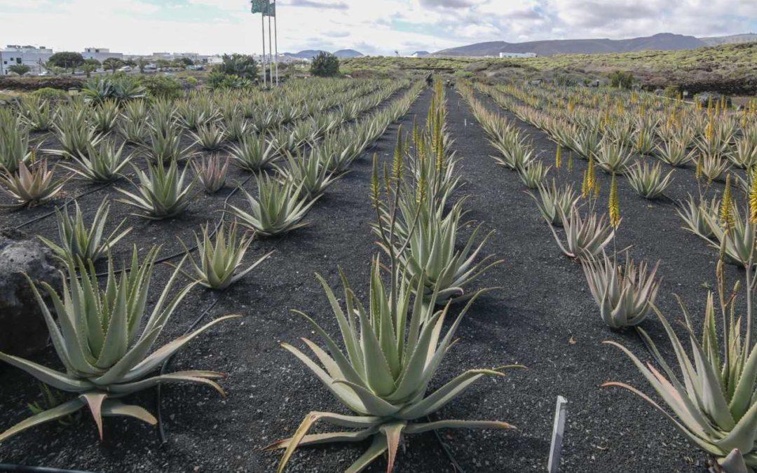 Führungen über die Aloe Vera-Plantagen auf Lanzarote