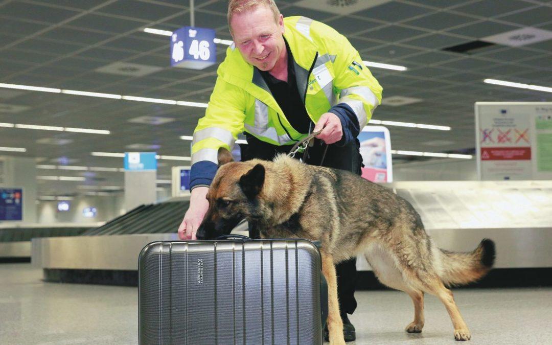 Spürhunde suchen nach Bettwanzen im Reisegepäck