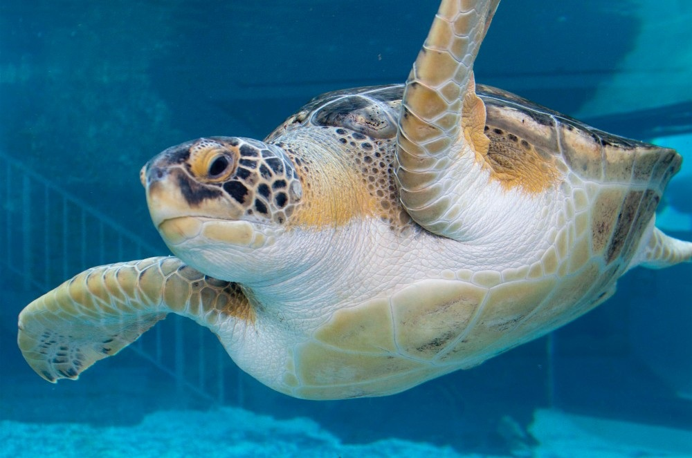Schildkrötensaison an den Stränden von Sarasota