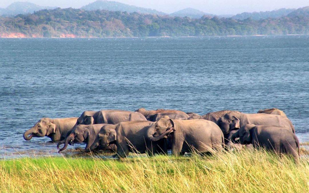 Elefanten-Beobachtungstour im Minneriya National Park auf Sri Lanka