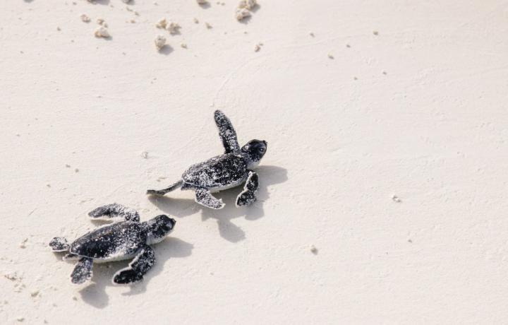 Malediven: Schildkröten schlüpfen am Strand des Kanuhura-Resorts