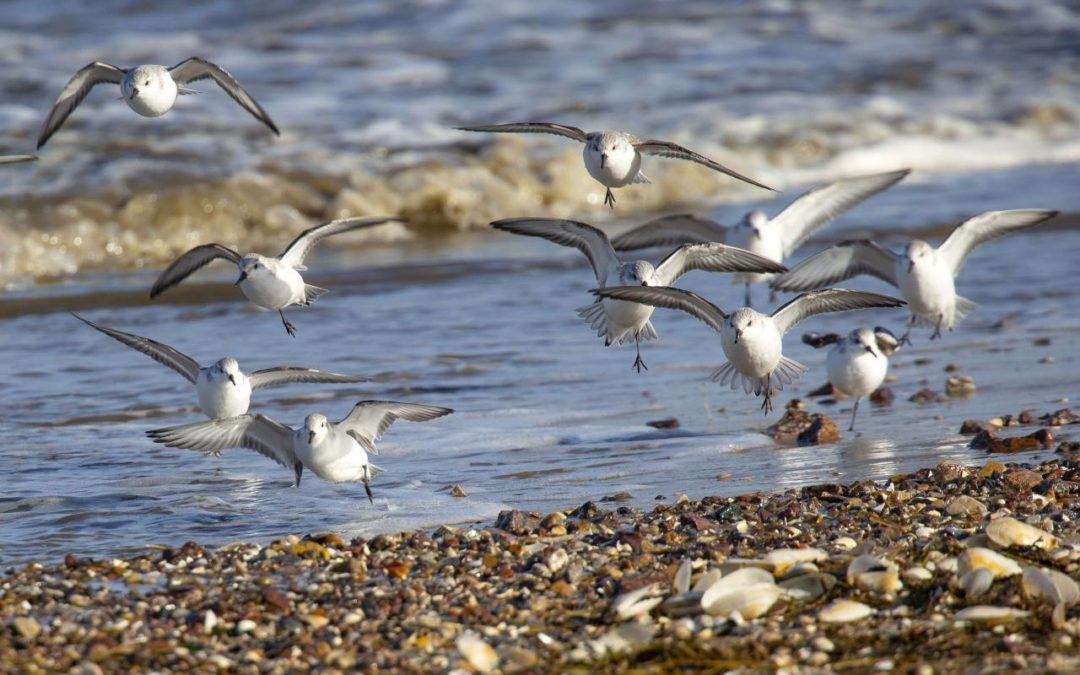 Zugvogeltage 2018 im Nationalpark Niedersächsisches Wattenmeer