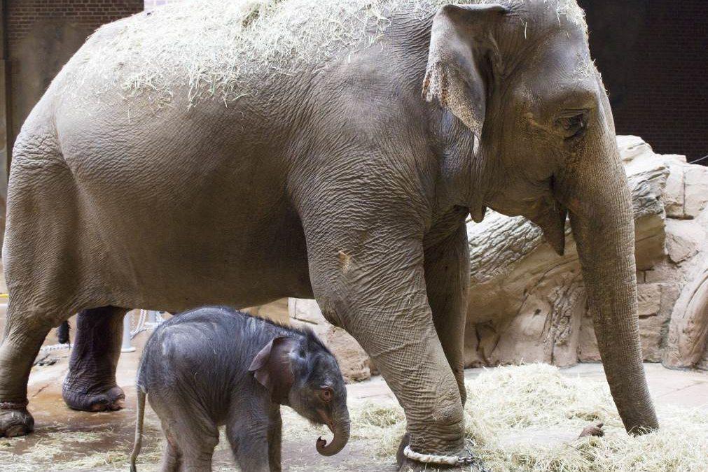 Zoo Leipzig freut sich über Geburt von männlichem Elefantenkalb