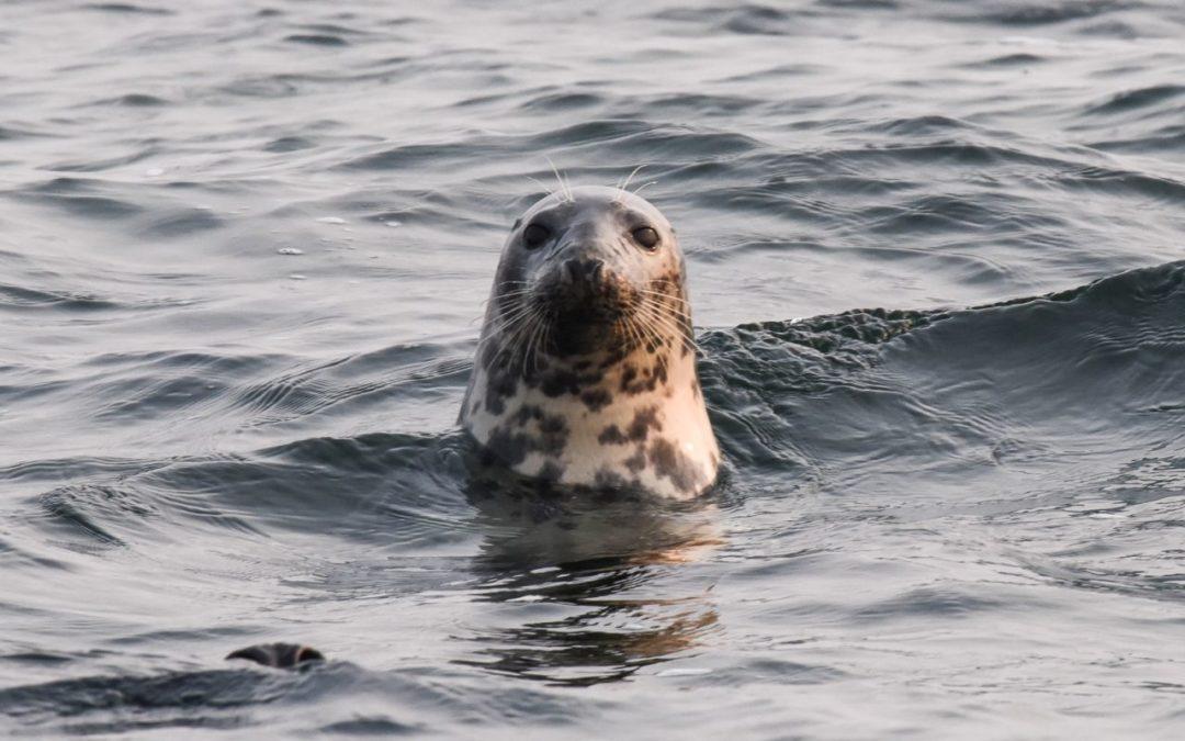Meeresmuseums Stralsund: App zur Meldung von Meeressäugetieren