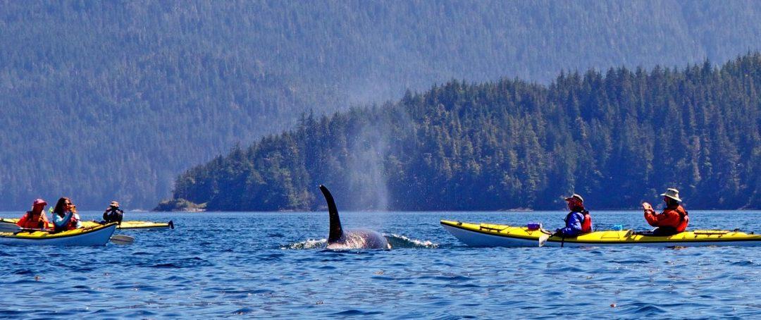Kajakausflüge zu den Orcas auf Vancouver Island