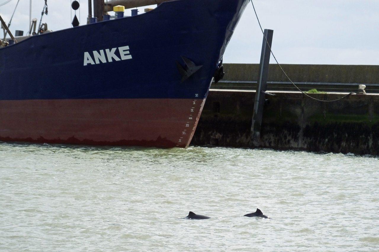 Schweinswal vor Wilhelmshafen
