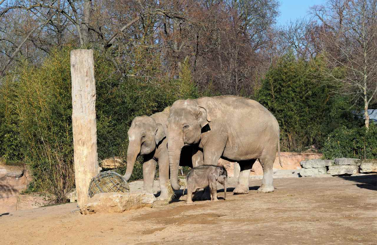 Elefantenkalb im Zoo Leipzig mit Kühen auf der Außenanlage