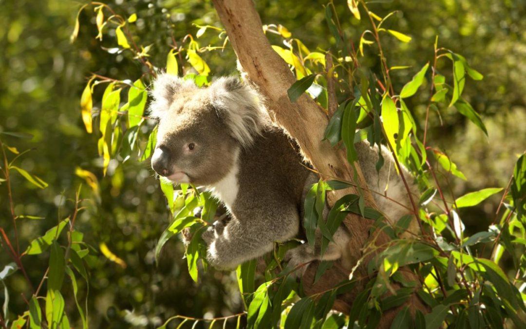 Wild Koala Day schafft Aufmerksamkeit für die bedrohte Tierart
