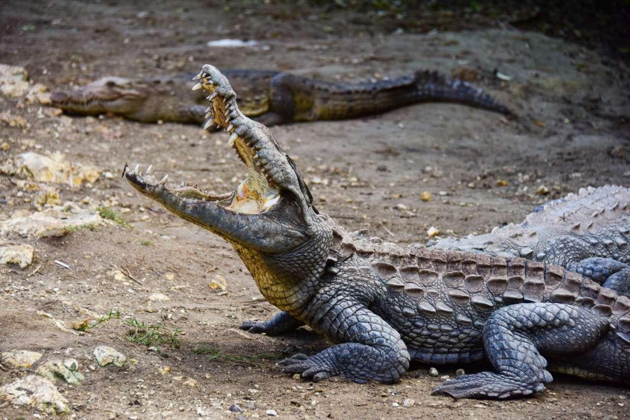 Krokodile auf Jamaica