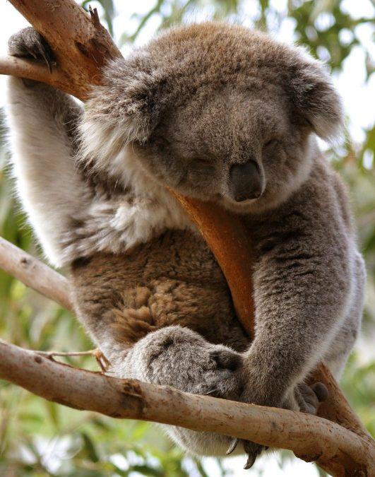 Australien: Süßes Koala-Video gibt Einschlaftipps