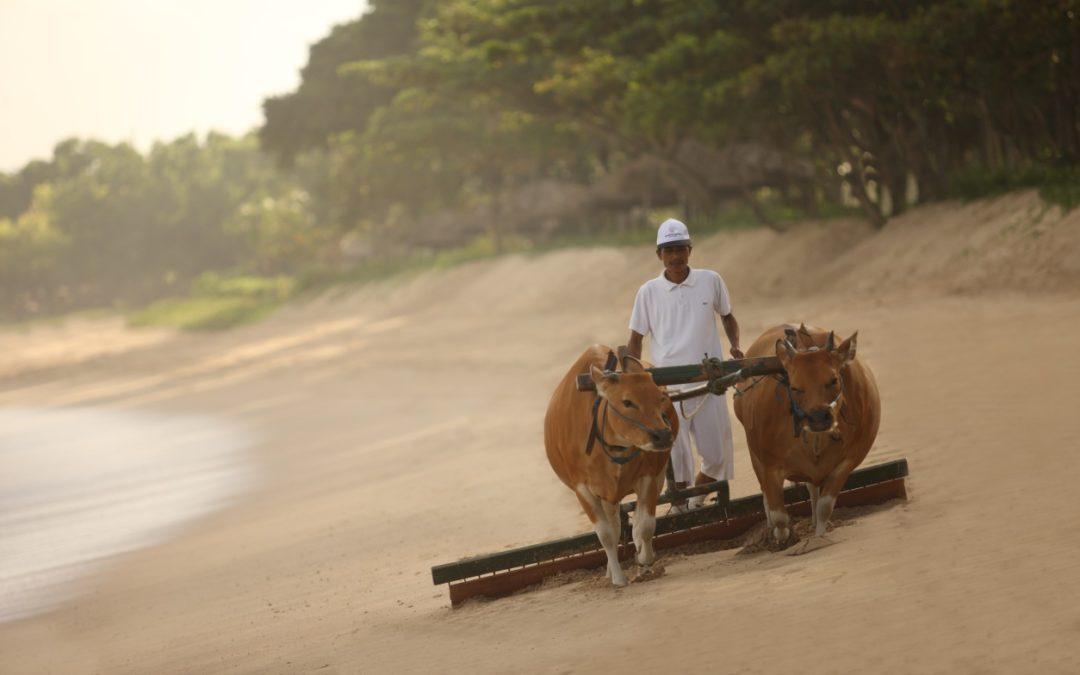 Kühe helfen bei der Strandreinigung des InterContinental Bali Resort