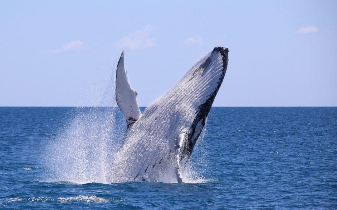 Indigene Whale Watching-Tour vor der Küste von Brisbane