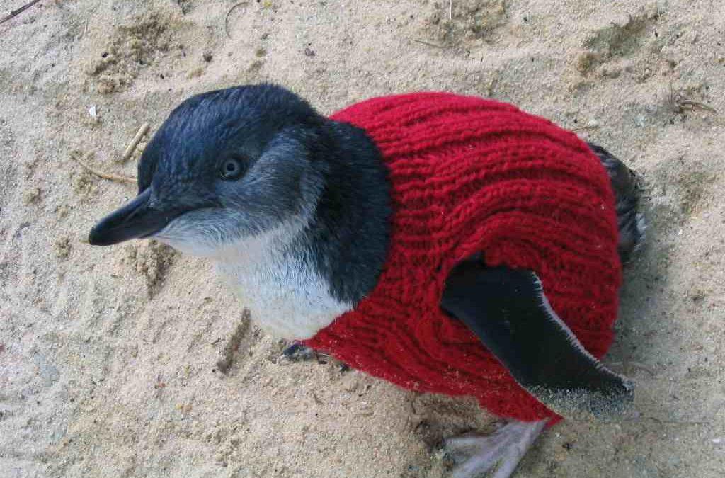 Pullis für Pinguine auf dem australischen Phillip Island