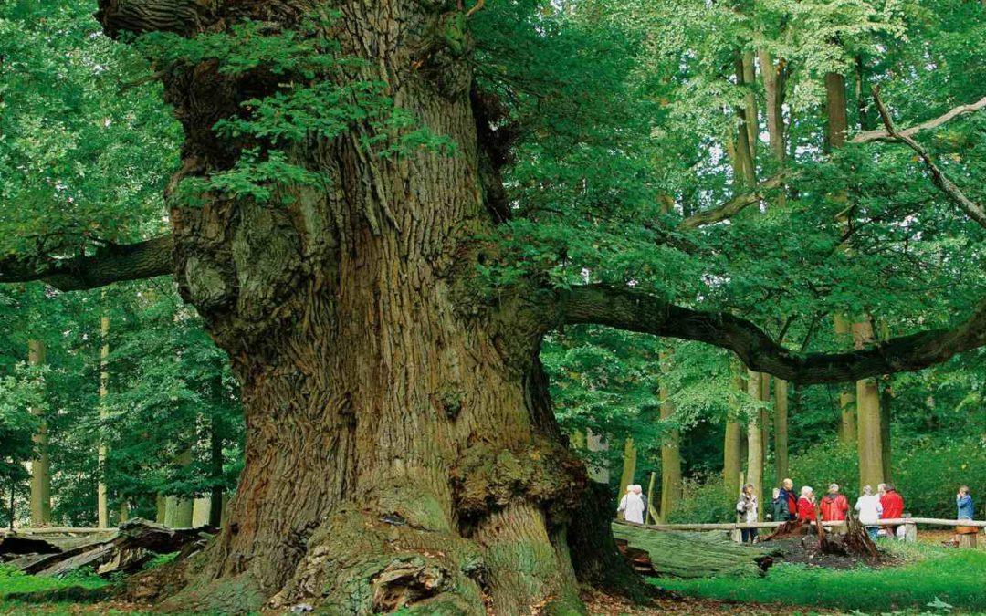 Waldgebiet des Jahres 2020: Ivenacker Eichen in Mecklenburg-Vorpommern