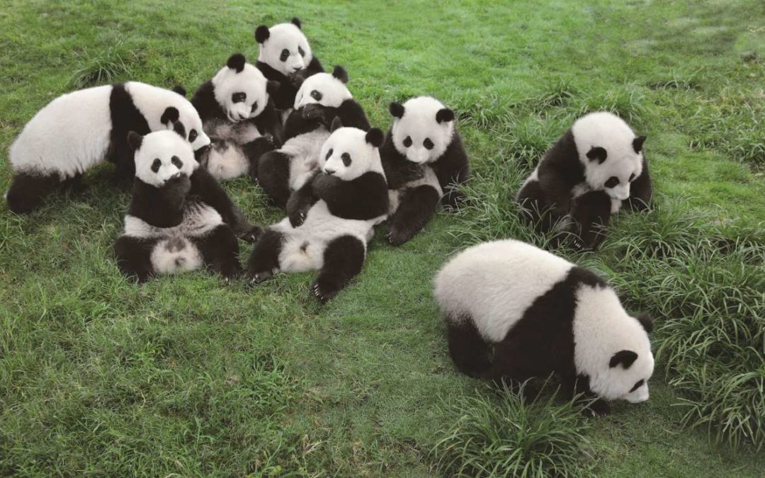 "Live Streams zu den Pandas in der ""Panda Base"" in Chengdu"