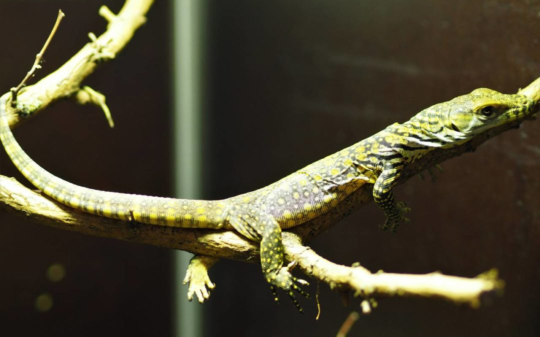 Zoo Leipzig freut sich über Komodowaran-Nachwuchs
